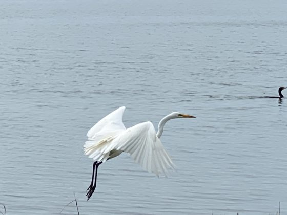 Rye Marshlands great egret