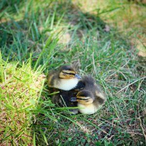 Rye PD ducklings June 26, 2020